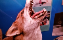 Opgezette vos in Driehuis museum