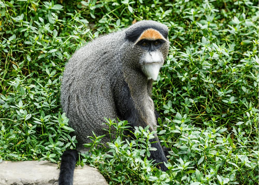 Brazzameerkat - Zooparc overloon