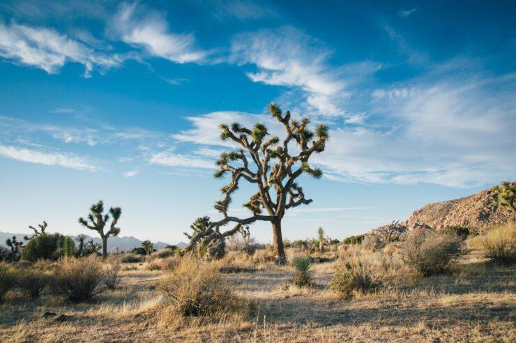 Het Yoshua Tree national Parc. Ook bekend van het album van U2: The Joshua Tree